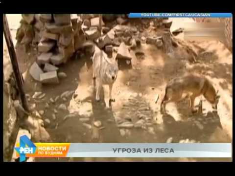 Волки нападают на домашний скот в Боханском районе