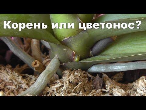 Как отличить корень от цветоноса