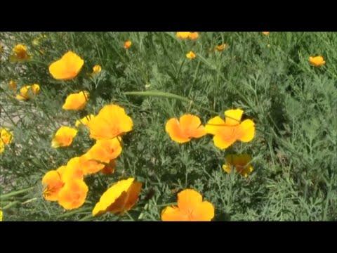 Жёлтые цветы в саду! Эшшольция или калифорнийский мак!
