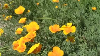 видео Эшшольция, мак калифорнийский (Escholtzia californica Cham.)