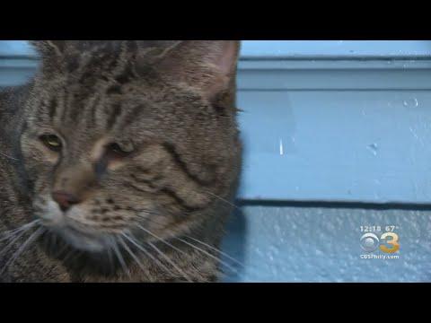 Huge Cat Up For Adoption In Philadelphia Crashes Shelter's Website