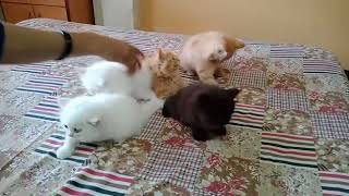 Persian Kittens playing | Persian kittens for sale
