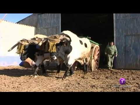 Bueyes castellano-manchegos peregrinan al Rocío