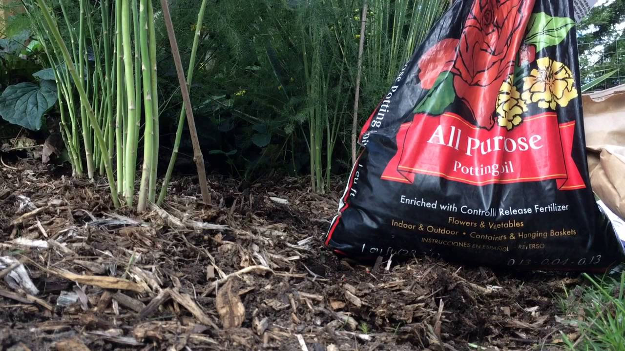 Planting asparagus in Fall ,for spring jump! - YouTube Planting Asparagus In The Fall
