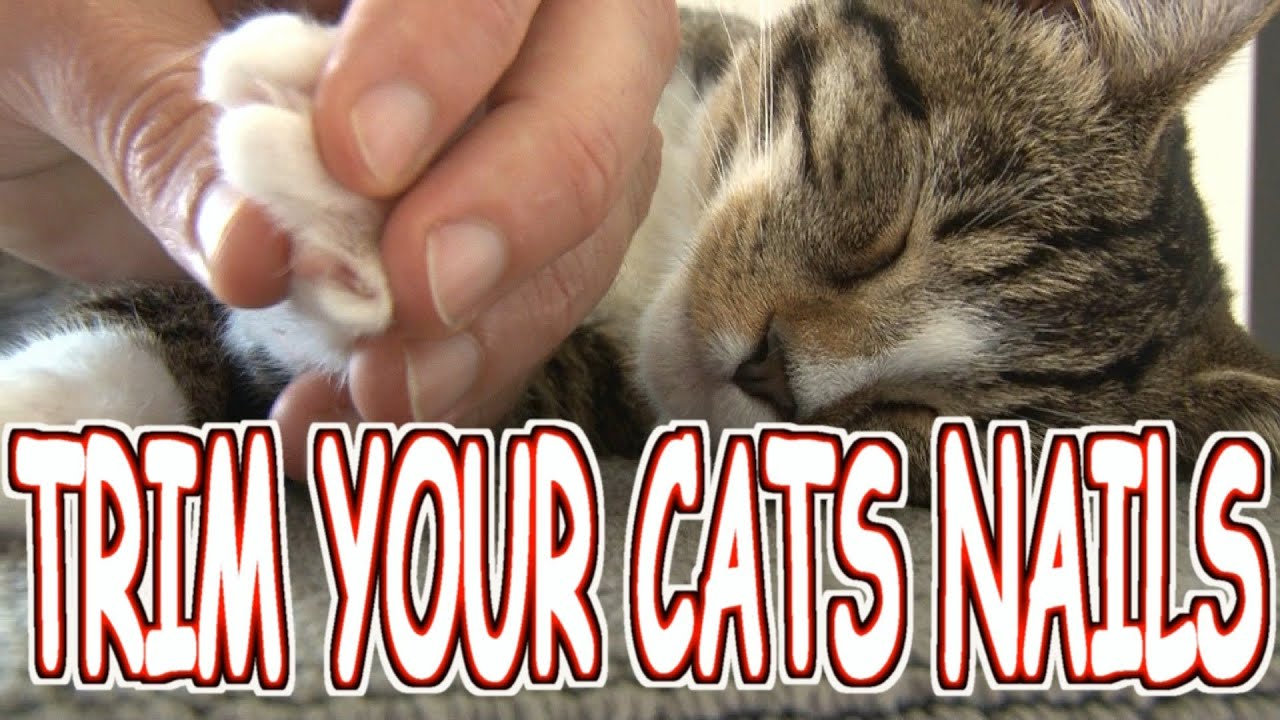 How to trim cut your cat s nails the HUMANE WAY Tutorial