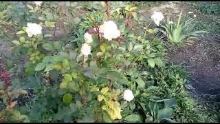 Природа в Украине 23 октября/ Красивая музыка/ Энигма(Created by VideoShow:http://videoshowapp.com/free Представляю вашему вниманию просмотреть красивую природу под приятную мелодию...., 2016-10-24T07:28:51.000Z)