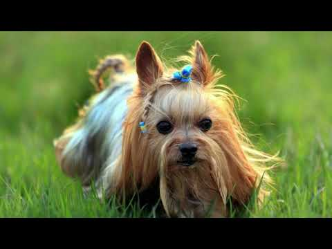Yorkshire Terrier Dog Breed | Courageous and Alert Dog
