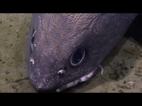Denizens Of The Deep: Rattail Fish (Grenadier) | Nautilus Live