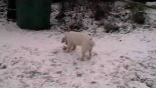 Clumber Spaniel In The Snow