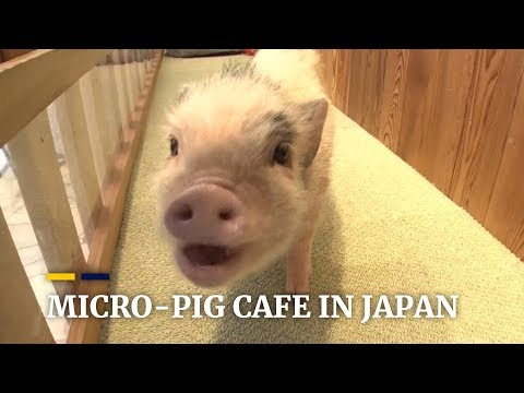 Meet and play with micro-pigs in Tokyo, Japan