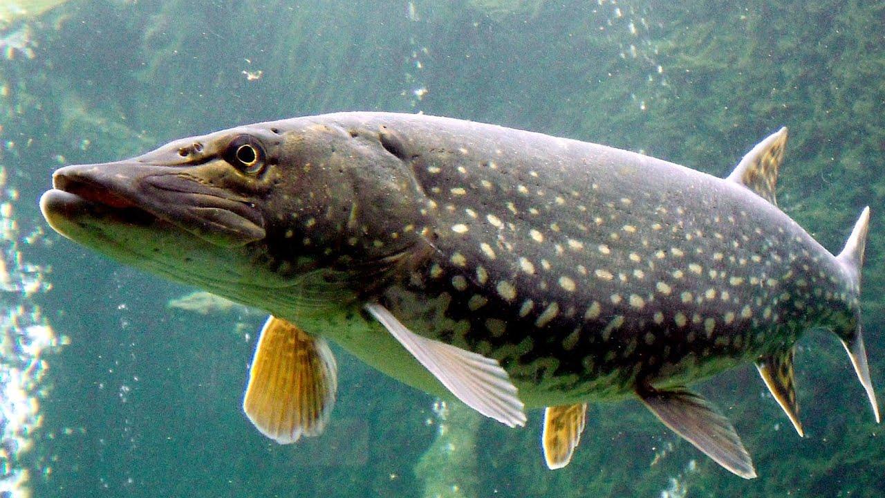 Tot ce trebuie să știi despre Pescuitul la Știucă. Deltă - Râuri - Lacuri - Arrow