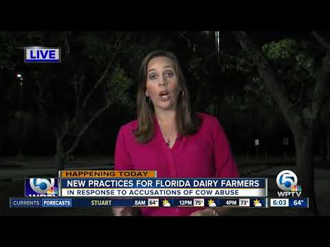 Florida's largest dairy cooperative to announce new practices after allegations of cow abuse