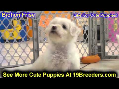 bichon-frise,-puppies-for-sale,-in,-bellevue,-washington,-wa,-yakima,-kitsap,-thurston,-clark,-spoka