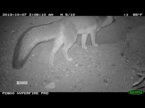Animal Interactions at Wind Energy Facilities – Gray Fox