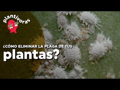 ¿Cómo eliminar la cochinilla algodonosa de tus plantas?