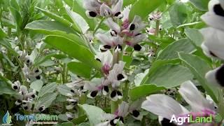 作物观察:大豆上的硼增强根瘤