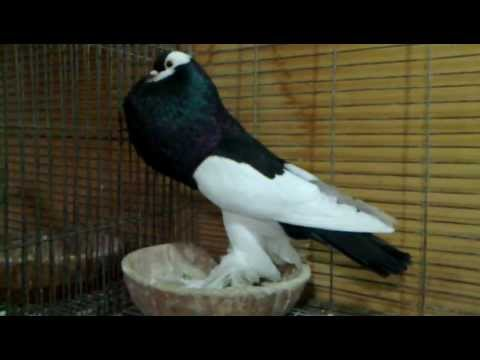 REVERSEWING Pouter Pigeon - Vinous Farm نفاخ أسود - YouTube