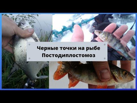 Черные точки на рыбе. Постодиплостомоз.