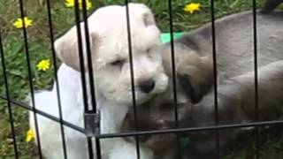 Island Miniature Schnauzers - White And Silver Puppies Outside Playing