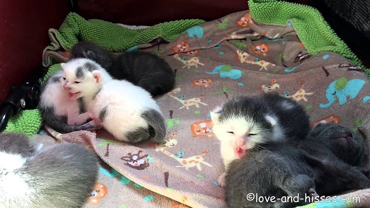 Hissing 2 Week Old Kittens Youtube