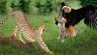 感動!ヒョウは彼の息子に復讐のためにワシを攻撃する Craziest Moments...