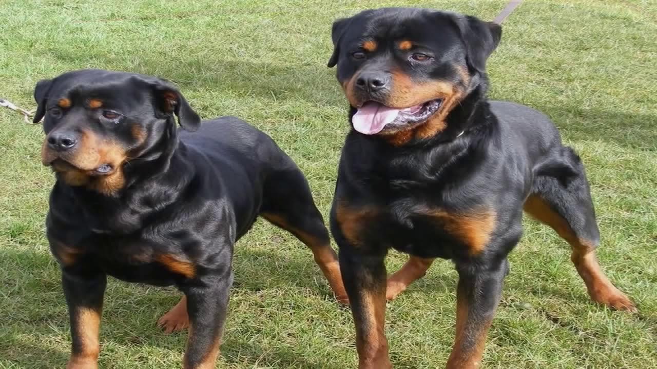 Perros rottweiler y pitbull peleando