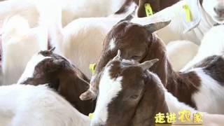 Boer Goats in China--广西咪咩波尔山羊养殖经验.mp4
