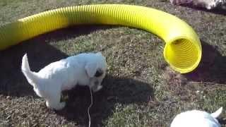 reggaedog.kennel.sk working sealyham terrier.