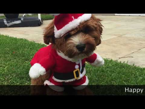 Cavoodle cavapoo puppy on Christmas Day (Part 1)