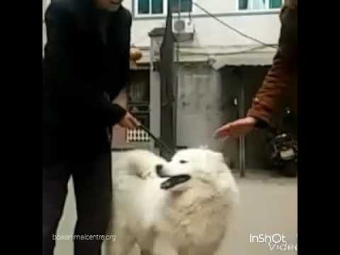Lost Samoyed Dog Reunited With Owner, China