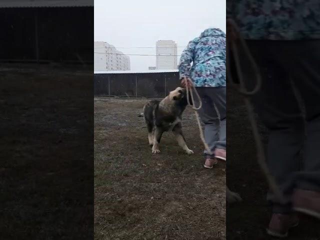 Caucasian Shepherd Dog  Female #2 for sale (5.5 months)