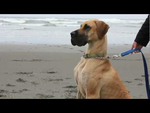 Great Dane at the Beach