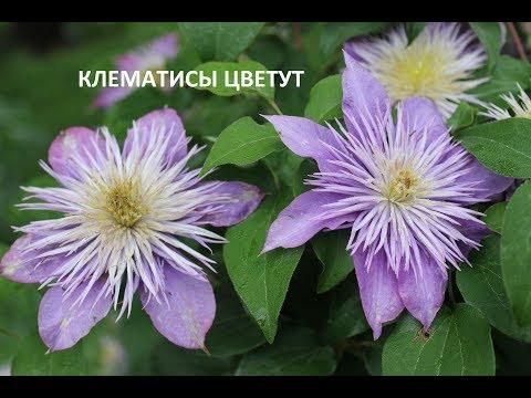 Клематисы.  Июнь. Шикарное цветение. Сорта клематисов.Часть 2