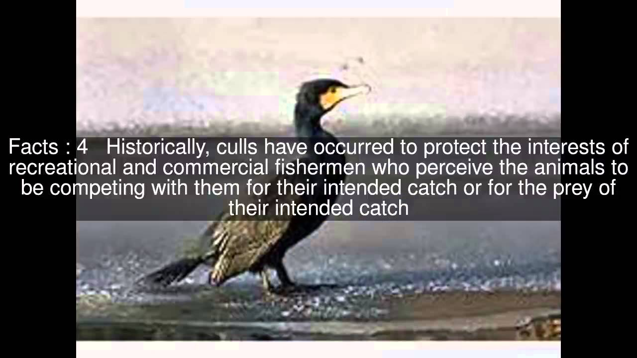 Cormorant culling Top #6 Facts
