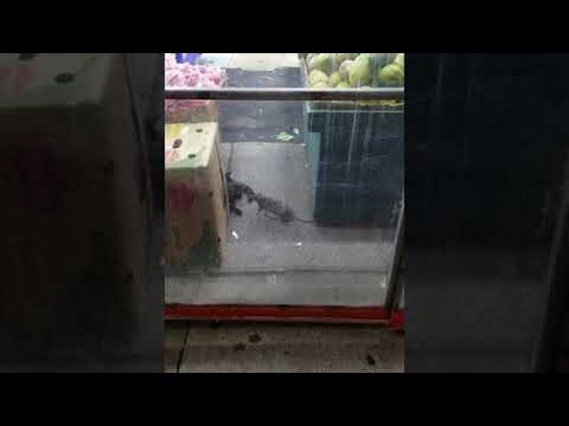 New York Rat Bullies Cat out of the Way || ViralHog