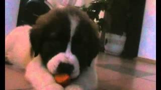 щенок московской сторожевой Барон. 2 месяца.