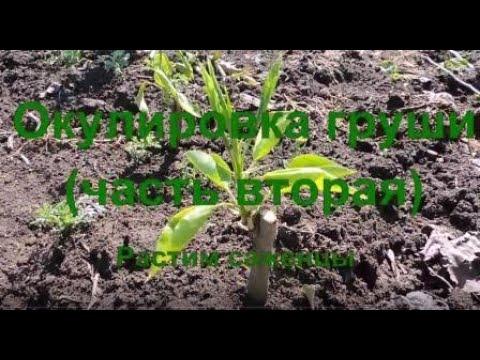 Окулировка груши (часть вторая). Растим саженцы. Подробности в описании.