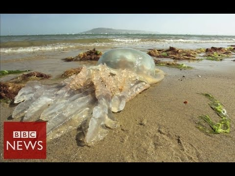 Why Are Giant Jellyfish Washing Up On UK Beaches? BBC News