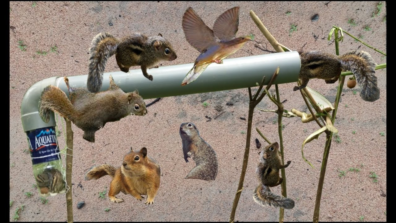 How To Trap Squirrels With Homemade Traps Homemade Ftempo