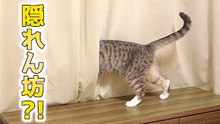 cute cats want to hide behind the curtain