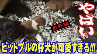 American Pitbull Terrier 専門犬舎 MOONBAY MAZDA http://www.pure-dog...