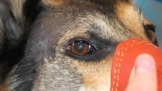 новообразование века у собаки