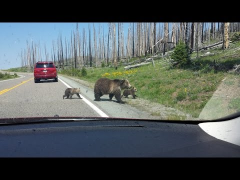 Mama Grizzly with Cubs at Yellowstone