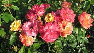 Сделайте эту обрезку в июне, и ваши розы будут лучше цвести