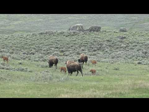 Les bisonneaux s'amusent. Yellowstone Mai 2019