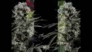 Rasta Manuel Ft Cindy Bravo-True Love (Daylight Riddim)