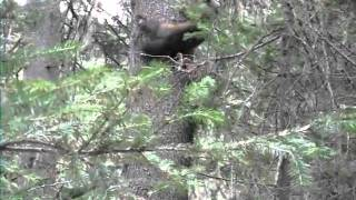 Охота на соболя с собаками в Красноярске видео