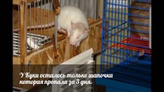 Немного об окраске Хаски\У крыс так называется окрас
