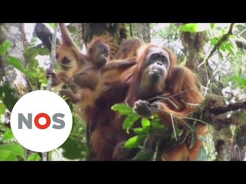 MENSAPEN: Er is een nieuwe oerang-oetansoort ontdekt op Sumatra