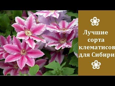 ❀ Лучшие сорта клематисов для Сибири